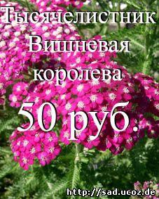 МОЯ ДАЧА - купить саженцы многолетнего растения тысячелистник Вишневая королева