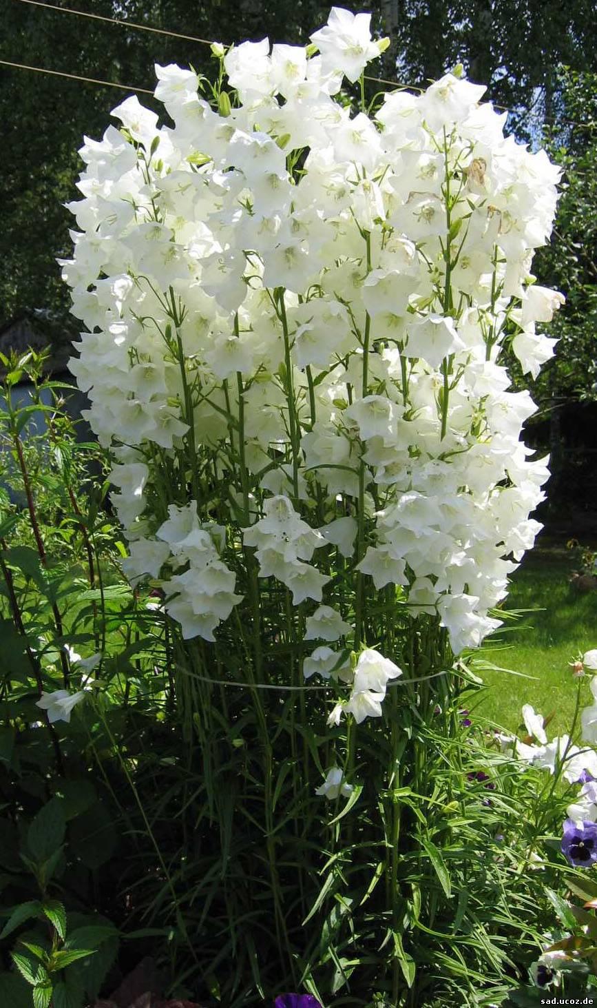 Белые садовые цветы названия и фото