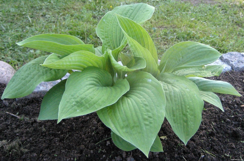 Зеленая хоста цветок
