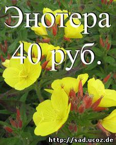 МОЯ ДАЧА - купить саженцы многолетнего растения энотера