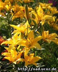 МОЯ ДАЧА - купить саженцы многолетнего растения гелениум осенний желтый